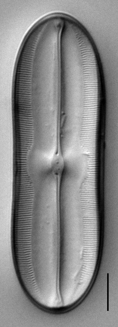 Sellaphora moesta LM6