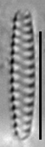 Staurosirella berolinensis LM8