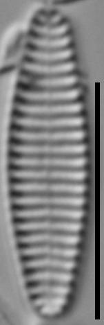 Stauroforma exiguiformis LM5