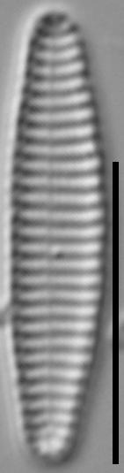 Stauroforma exiguiformis LM3