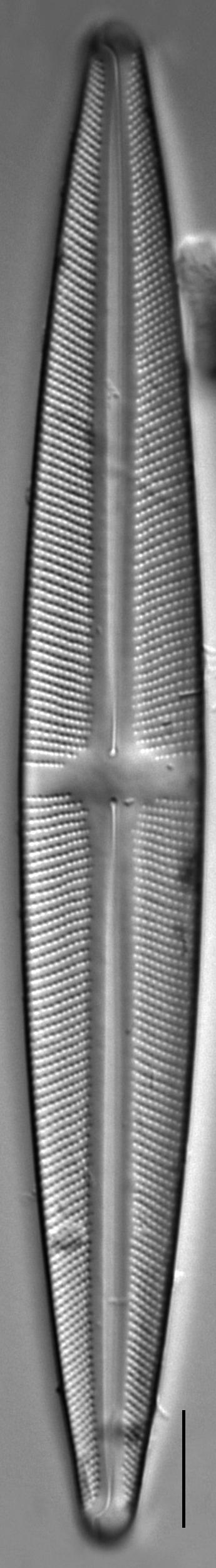 Stauroneis kingstonii | Species - Diatoms of North America
