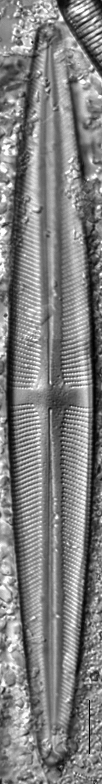 Stauroneis kingstonii LM2