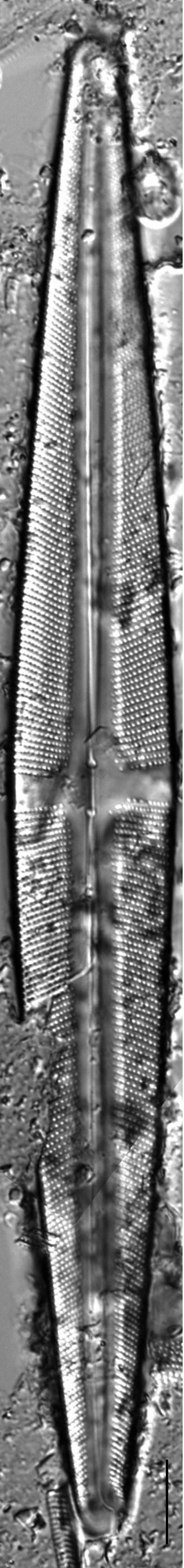 Stauroneis kingstonii LM1