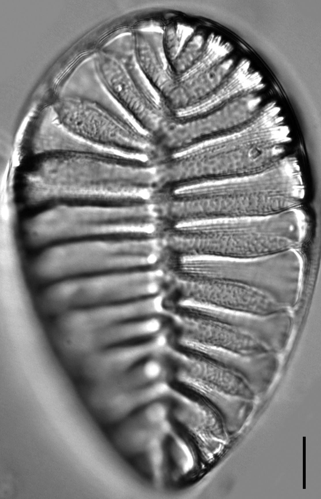 Surirella striatula LM4