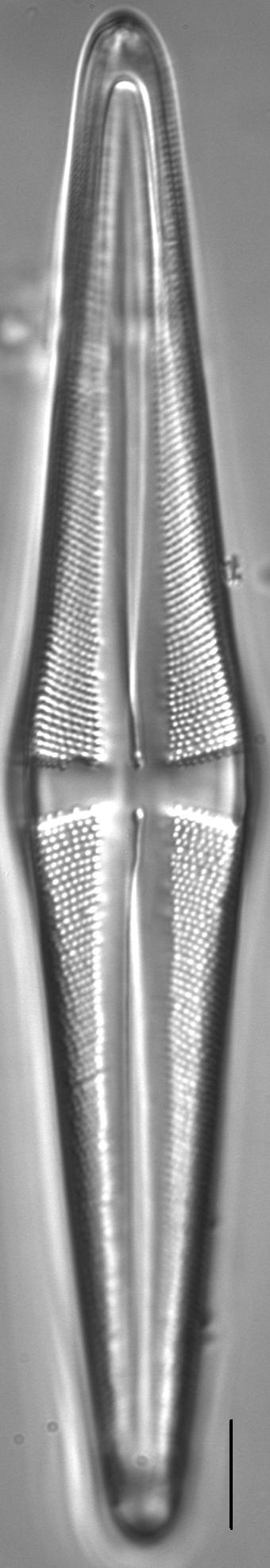 Stauroneis acuta LM4