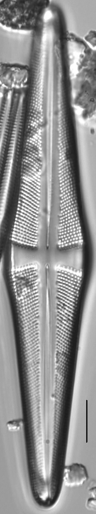 Stauroneis acuta LM2