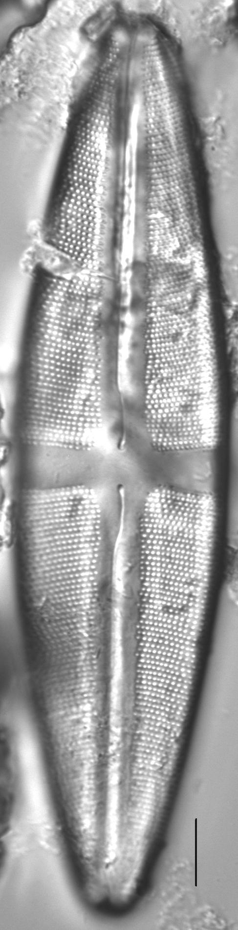 Stauroneis americana LM1