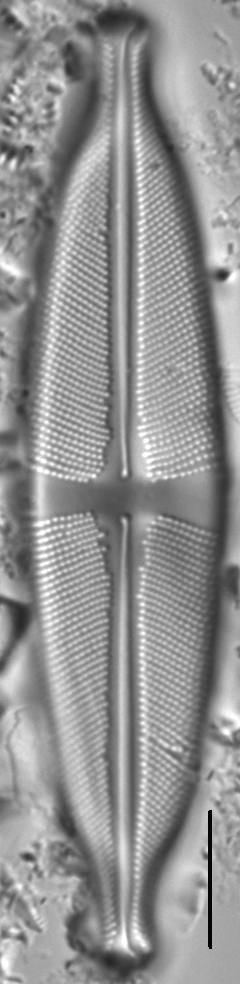 Stauroneis amphicephala LM2