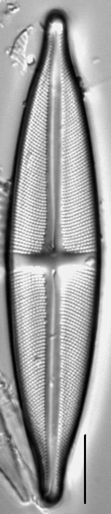 Stauroneis anceps LM5