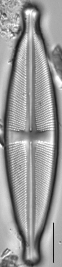 Stauroneis ancepsfallax LM5
