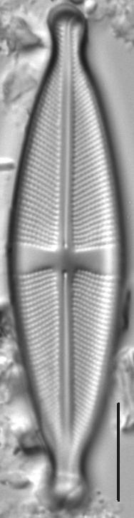 Stauroneis ancepsfallax LM2