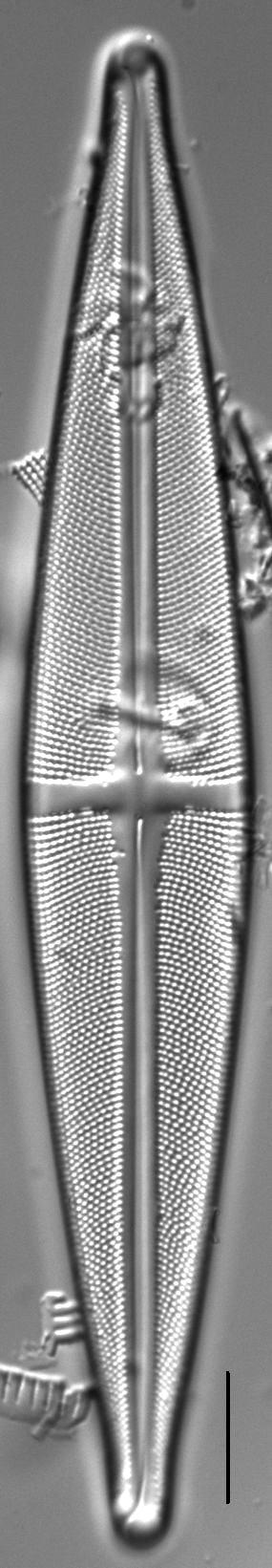 Stauroneis angustilancea LM7