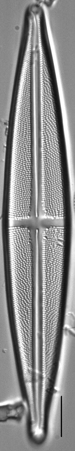 Stauroneis angustilancea LM5