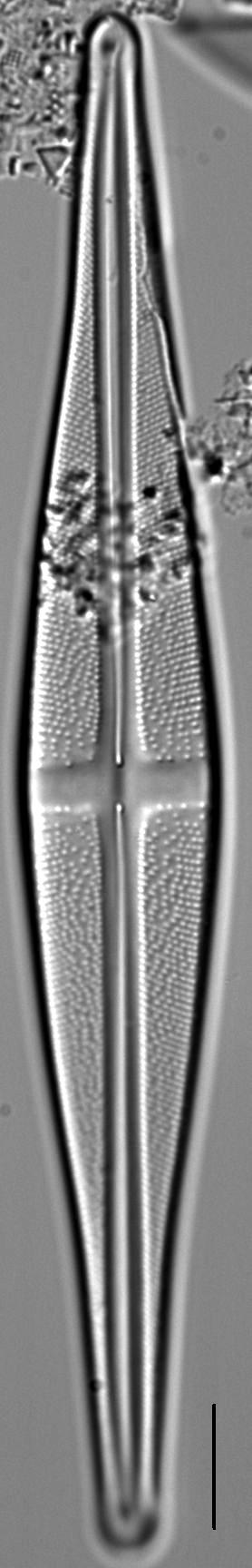 Stauroneis baconiana LM2