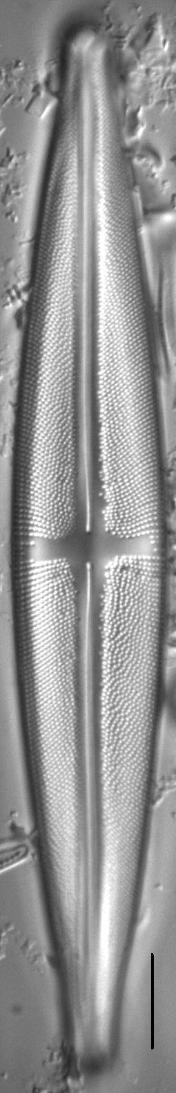 Stauroneis beeskovea LM3