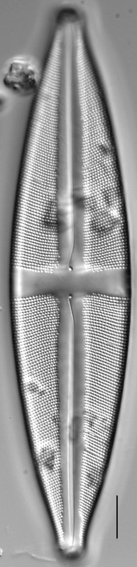 Stauroneis circumborealis LM4