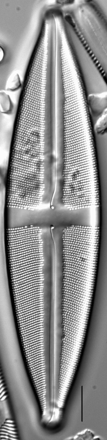 Stauroneis circumborealis LM3