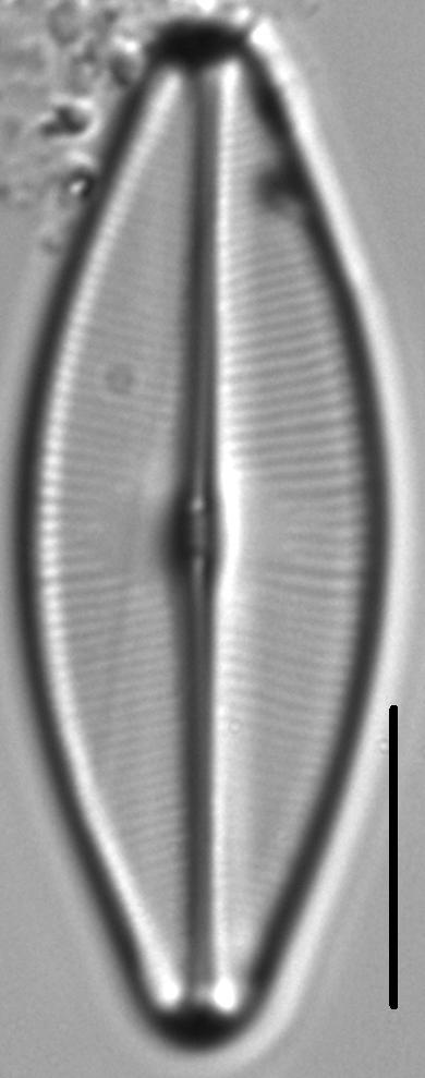 Sellaphora bacilloides LM5