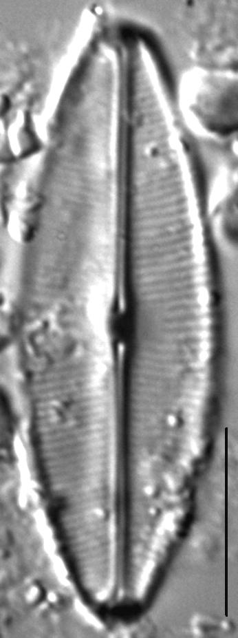 Sellaphora bacilloides LM4