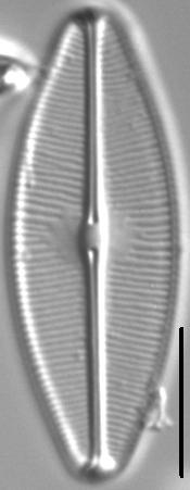 Sellaphora bacilloides LM3