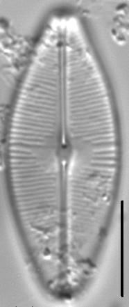 Sellaphora bacilloides LM2
