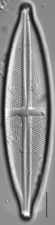 Stauroneis fluminopsis LM4