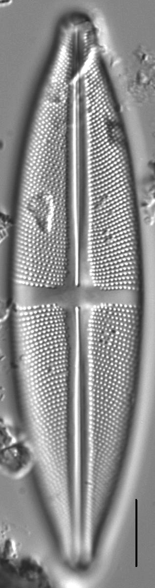 Stauroneis fluminopsis LM3