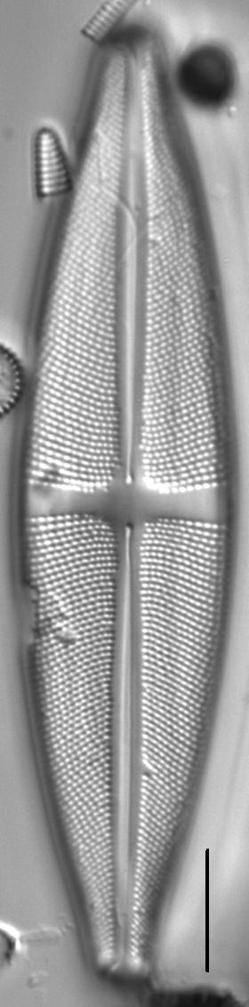 Stauroneis fluminopsis LM2