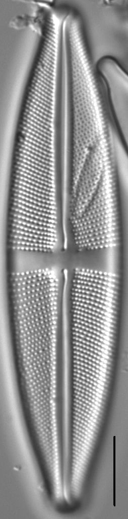 Stauroneis gracilis LM2