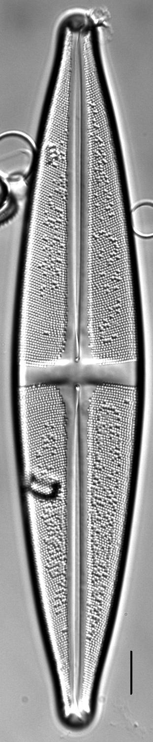 Stauroneis heinii LM7