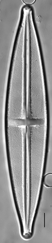 Stauroneis heinii LM6