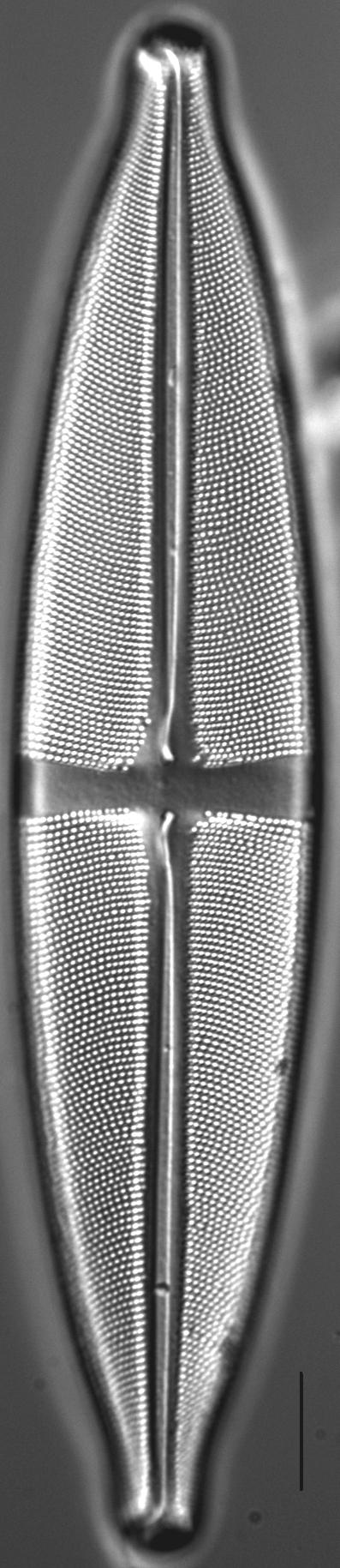 Stauroneis heinii LM4