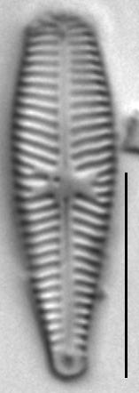 Gomphosinica geitleri LM5