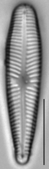 Gomphosinica geitleri LM3