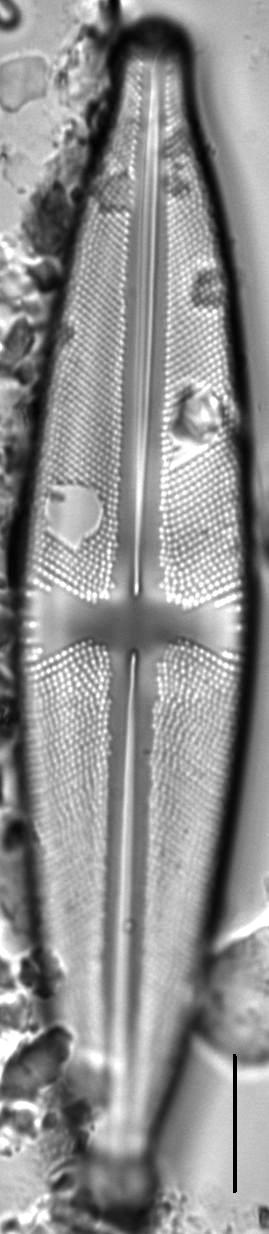 Stauroneis pax LM6