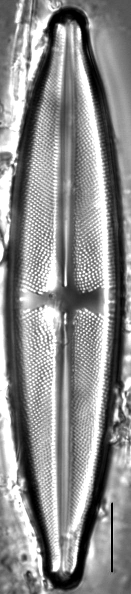 Stauroneis pax LM5
