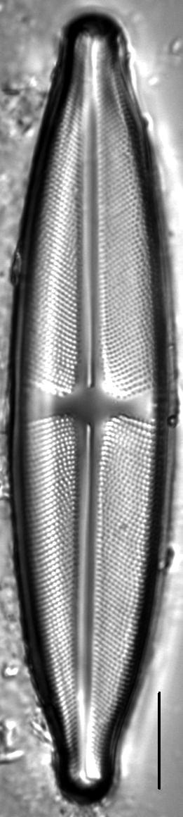 Stauroneis pax LM4