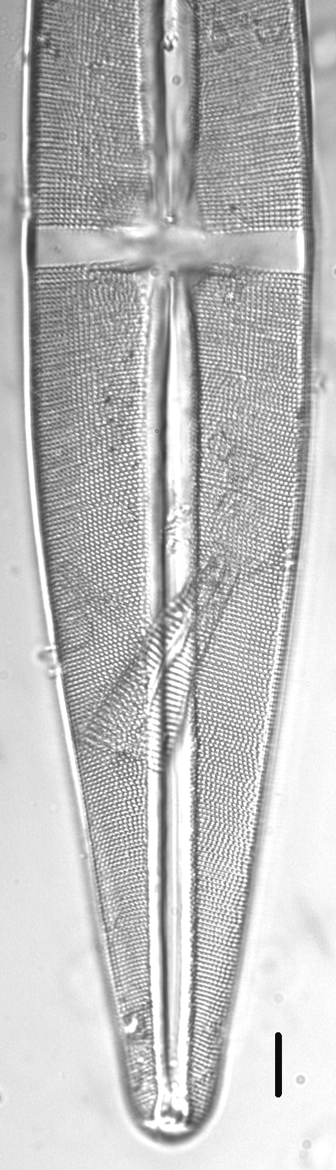 Stauroneis rex LM3