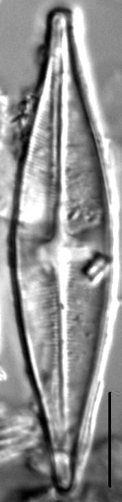 Stauroneis schroederi LM3