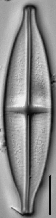 Stauroneis siberica LM1