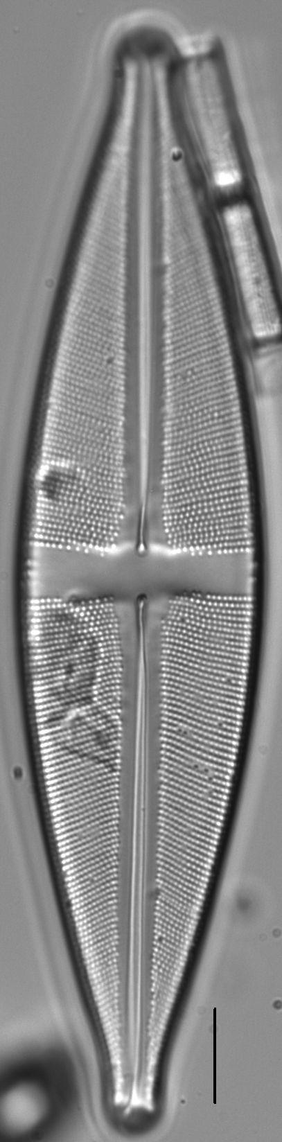 Stauroneis sonyae LM1