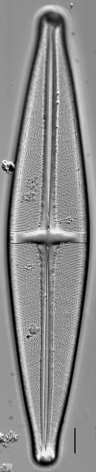 Stauroneis submarginalis LM1