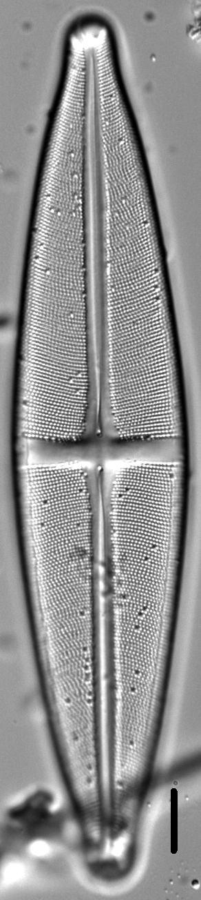 Stauroneis submarginalis LM4