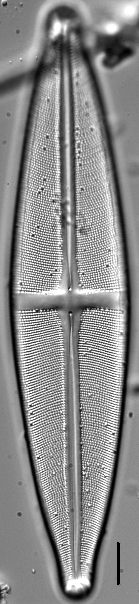 Stauroneis submarginalis LM5