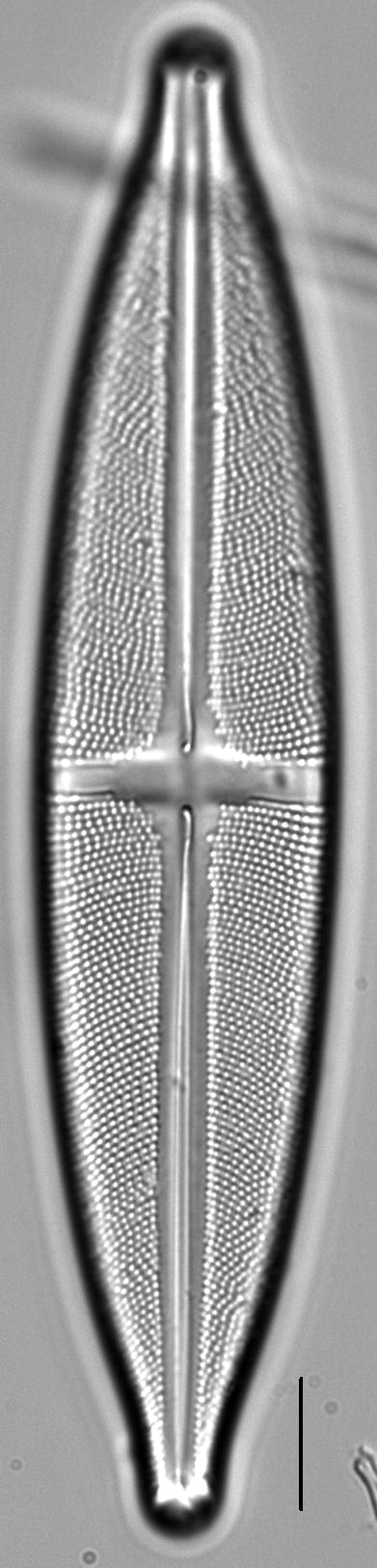 Stauroneis superkuelbsii LM4