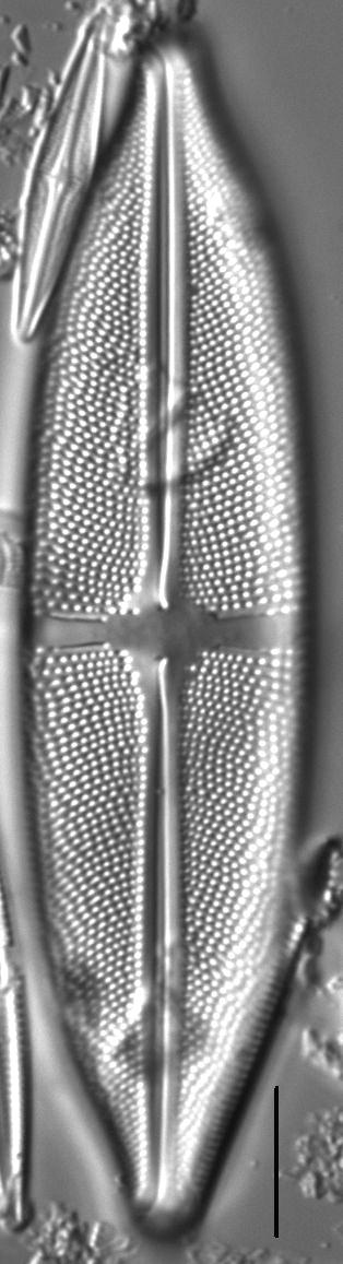 Stauroneis superkuelbsii LM1