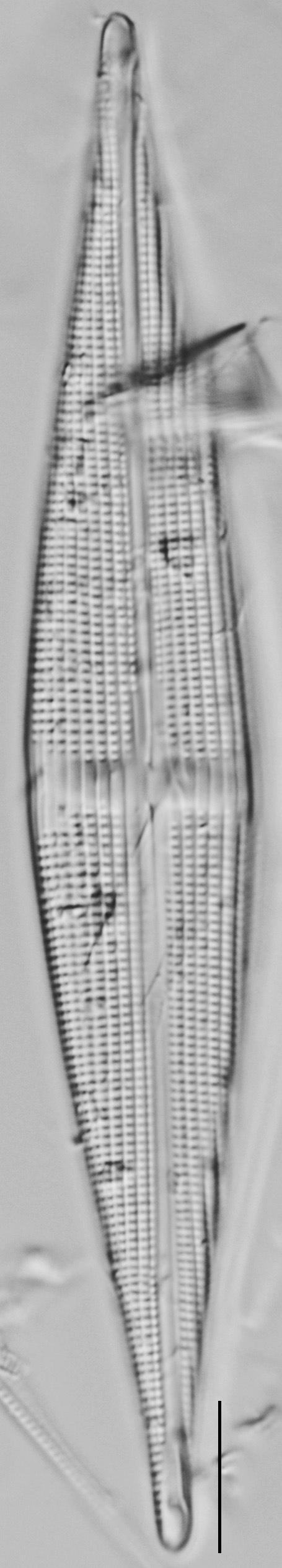Stauroneis staurolineata LM6