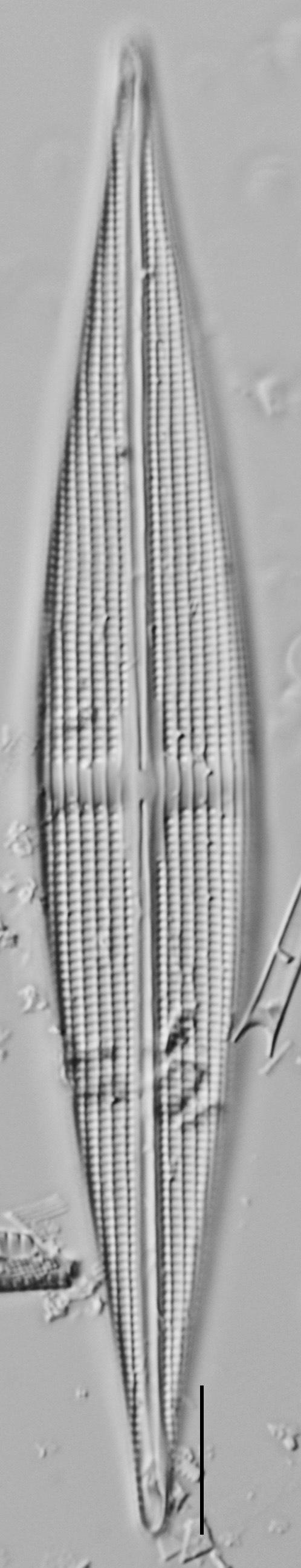 Stauroneis staurolineata LM4