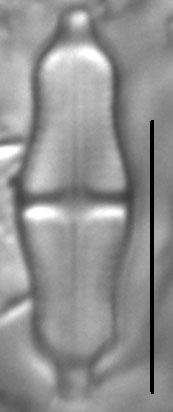 Stauroneis separanda LM2