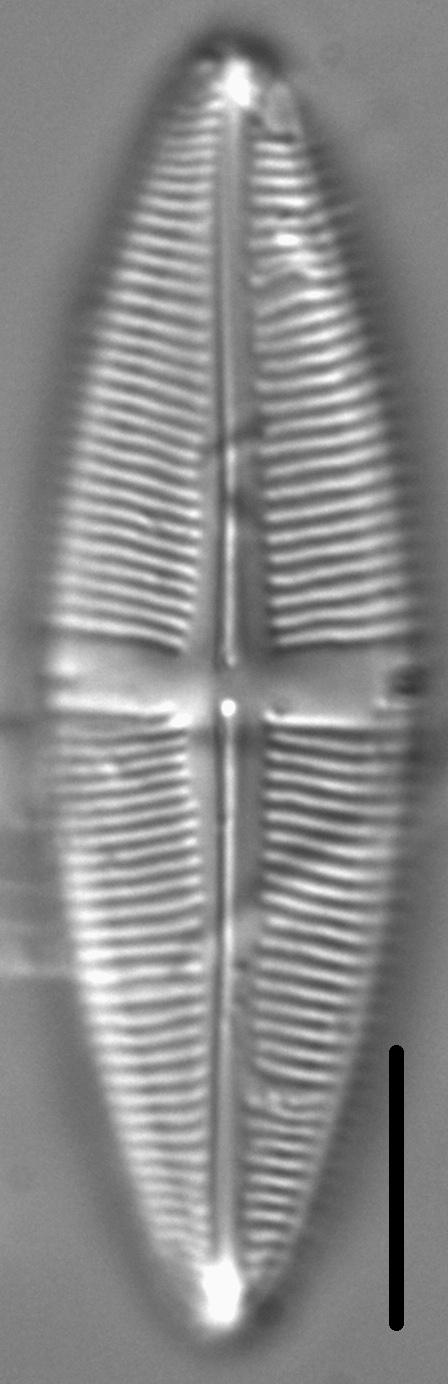 Staurophora amphioxys LM3